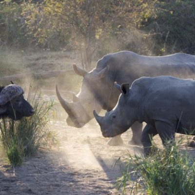 a-mother-and-baby-rhino-warn-an-injured-cape-buffalo-to-not-come-any-closer-in-the-sabi-sabi-reserve_t20_wQBOmz