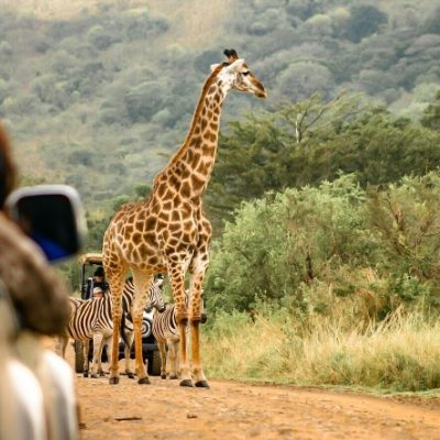 self-drive-safari-in-south-africa-with-sightings-of-giraffe-and-zebra_t20_7lVrAO